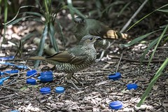 Blue Bottle Tops (Geoffsnaps) Tags: blue decorations green bird eye nature beautiful female ed nikon natural nest head feathers panoramic carbon nikkor satin fx gitzo vr bower afs monopod mottled acratech 200500mm femalesatinbowerbird d810 nikond810 gm5541 monopodhead f56e gitzogm5541carbonmonopod acratechpanoramichead nikonnikkor200500mmf56eedvrafs