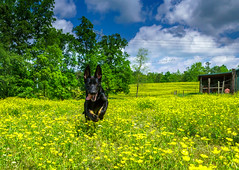 The Field of Dreams (TGB Filmography) Tags: flowers blue sky tree yellow clouds georgia landscape postcard southern hdr ulla sonycamera k9 puppylove fieldofdreams germanshepherdpuppy counrty puppyplay comeplay outdays spring2016 ullavondertetiaroa