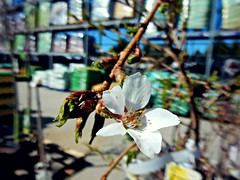 Browsing at the Nursery 4/29/16 (dianecordell) Tags: flowers plants spring poetry nursery april buds queensburyny