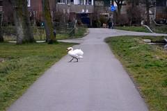 Why did the Swan cross the road? (Michiel2005) Tags: holland bird netherlands walking leiden swan nederland lopen animalplanet vogel zwaan merenwijk
