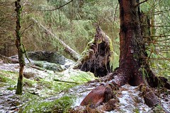 Fallen tree (halifaxlight) Tags: trees winter brown snow green norway forest moss sunny fallen windfall radoy