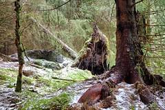 Fallen tree (halifaxlight) Tags: trees winter brown snow green norway forest moss sunny fallen windfall radoy