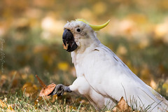 Old Sulfur crested Cockatoo Canberra ACT (danny.mccreadie2) Tags: old canberra cockatoo sulfur ac crested