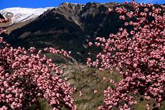 Printemps montagnard (Et si, et si ...) Tags: fleurs montagne couleurs arbres savoie paysage printemps