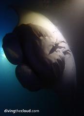 Manta birostris (divingthecloud) Tags: sea fish pez mar underwater maldives manta mantabirostris maldivas nightdiving fotosub bajoelagua buceonocturno
