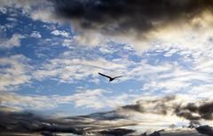 Pato (Lechuza Fotografica) Tags: chile landscape duck paisaje pato valdivia