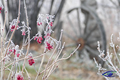 Frosty Berries (cj berry) Tags: autumn winter red canada wooden berries antique bare branches frosty alberta wagonwheel frosted lacombe