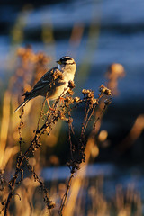 Birds in the Morning Light (C McCann) Tags: morning light canada bird birds sunrise golden bc head britishcolumbia albert birding lagoon victoria vancouverisland metchosin colwood