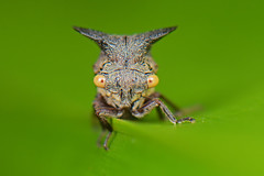 Oxyrachis tarandus [Treehopper, Cow Bug] (oliveback) Tags: macro handheld diffuser extensiontube sbr200 kenko14x d7100 labradornaturereserve afsdxmicronikkor85mmf35gedvr