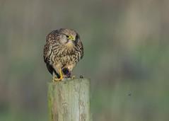 Kestrel Falco tinnunculu (Dale Ayres) Tags: