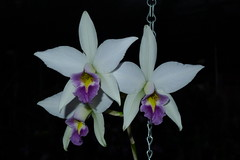 Laelia anceps 'Pirate's Delight' AM/AOS (voorchid) Tags: blue flower garden orchids lan cattleya laelia hoa anceps coerulea