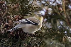 Chardonneret jaune / American Goldfinch /Spinus tristis (FRITSCHI PHOTOGRAPHY) Tags: goldfinch chardonneret ilesdeboucherville spinustristis