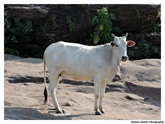 Cow (Raman_Rambo) Tags: nature beautiful beauty animal animals photography cow cattle natural kingdom phot beaut raman ramansharma ramansharmadombivli