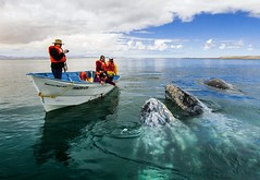 #FotoDelDa La Ballena Gris llega a Baja California Sur (Candidman) Tags: california canada alaska del gris foto circo fotos sur baja polar candidman da ballena ecoturismo estados rtico unidos recorrido comond