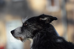 Bushy Eyebrows (pogmomadra) Tags: winter portrait hairy dog animal blackwhite poser nikon collie bokeh profile working sigma canine explore nesbitt bearded beardie wiry explored 150mmf28 rabc happybokehwednesday d5300 choxxstart pogmomadra