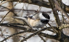 7K8A2402 (rpealit) Tags: bird nature field scenery wildlife east chickadee alumni hatchery blackcapped hackettstown