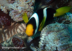 Clark's anemonefish - Pez payaso de Clark (divingthecloud) Tags: sea fish pez mar agua diving clownfish maldives buceo maldivas pezpayaso clarksanemonefish fotosub bajoelagua pezpayasoclark