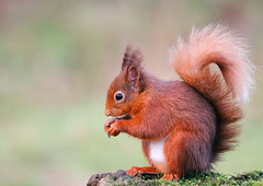 Red Squirrel (lintonthelion) Tags: red scotland squirrel wildlife