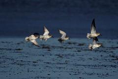 IMGP5089 Dunlin, Titchwell Marsh, January 2016 (bobchappell55) Tags: wild bird nature flight reserve marsh dunlin titchwell rspb wader