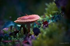 Seta (Mushroom) (ric.gayan) Tags: