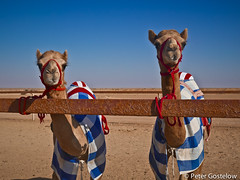 Racing camels near Shalim (Peter Gostelow) Tags: cycling desert oman camels