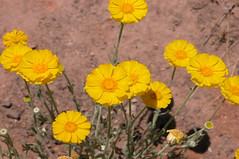 Desert Marigold (Baileya multiradiata) (Asteraceae) 4288x2848 (Charlotte Clarke Geier) Tags: wallpapers screensavers