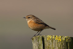 Stonechat (female) (badger2028) Tags: saxicola torquata stonechat