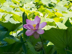 Nelumbo Nucifera, Sacred Lotus (Sharon Wills) Tags: flowers plants plant flower macro nature flora waterlily lotus sacred herb nelumbo nelumbonucifera nucifera adelaidebotanicgardens nelumbopond
