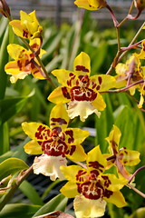 Oncostele Wildcat 'Yellow' (Nurelias) Tags: flowers flores orchid flower color macro fleur beautiful forest photography hawaii flora nikon rainforest colorful orchids nursery orchidaceae tropical orquidea species orchidee makro flore orchideen hybrids d7100 orchidales