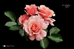 I COLORI DELLA NATURA. (Salvatore Lo Faro) Tags: verde nature nikon rosa natura fiore colori nero salvatore d300 lofaro