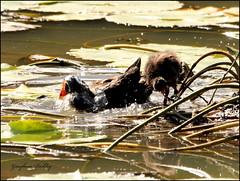 Moorhen (grayham3) Tags: bird nature birds canon wildlife australian feathers ducks australia qld queensland noosa ornithology waterbirds australianwildlife seq duskymoorhen sequeensland wildscape