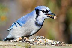 Blue Jay (Brian E Kushner) Tags: park blue birds animals point md nikon jay wildlife nuts maryland peanuts bluejay 300mm f4 mariner cyanocittacristata birdwatcher joppa tc14eii nikor tc14 d810 nikond810 bkushner nikon300mmf40dedifafsnikkorlens brianekushner
