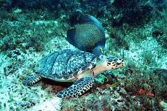 Hawksbill (daniel_hinrichsen) Tags: ocean vacation fish mexico feeding turtle scuba diving hawksbill cozumel reef angelfish caribean