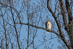 Hawk (Le Monsieur de le Coin Bureau) Tags: bird nature newjersey hawk wildlife wayne nj