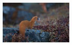 mountain weasel (viwake) Tags: negi uttarakhand