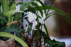 IMG_0571 (pappleany) Tags: outdoor pflanzen blumen frhling erlangen frhlingsblume pappleany