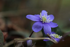 hpatique (bulbocode909) Tags: nature fleurs hiver hpatiques