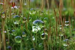 Wassertropfen auf dem Moos++Water drops on moss (@frauchi) Tags: canon wasser natur makro moos wassertropfen eos700d mooslandschaft