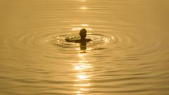 Golden dip (1/4th) Tags: morning sun india lake reflection silhouette sunrise golden nikon d750 ripples bathing nikkor chennai tamilnadu cwc morningbath chengalpattu  nikon80200mmf28d 80200mmf28dnew  chennaiweekendclickers kolavai kolavailake kanchipuramdistrict goldendip      cwc509