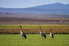 Famlia (Aicbon) Tags: naturaleza verde bird nature field animals canon crane au natura aves 7d aragon campo animales laguna grua teruel bello gallocanta grulla ocell grusgrus 100400 jiloca lascuerlas
