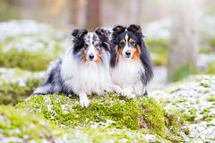Hugo & Helix (keen-eyed) Tags: dog snow dogs nature forest moss sheltie shetlandsheepdog
