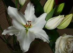 Lily (Hornbeam Arts) Tags: flower lily style stigma filament ovary anther