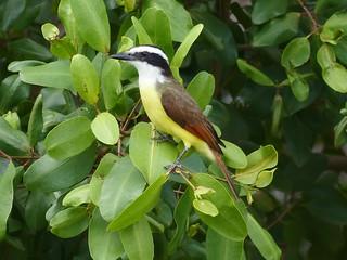 Birds of the Yucatan - another installment of four. Great Kiskadee.