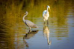 Two of a kind (malc1702) Tags: reflection heron nature water closeup outdoors ngc egret greategret birdsanctuary migratorybirds westernreefheron largebirds nikond7100 tamron150600