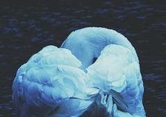 B A C K (Peter Tatsis) Tags: ocean old travel blue autumn england lake art nature animal landscape polaroid photography book swan model artist artistic grunge young exhibit minimal pale retro romantic boho blackswan paleblue tumblr palegrunge