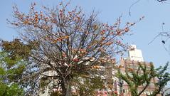 P1050288 (Big Tree Chen) Tags: