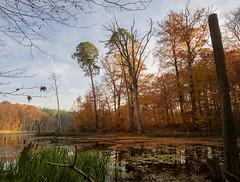 unberhrte Natur (Thomas Heuck) Tags: autumn trees lake water wasser natur swamp bume sumpf mritznationalpark