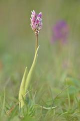 Orchidea (AIIex) Tags: orchid flower macro nikon m42 jupiter fiore nikond90