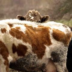 Peek a boo  024 (saxonfenken) Tags: march2013field 6894animal 6894 cow shy farmanimal animal brownandwhite pregamewinner perpetual tcf 15challengeswinner
