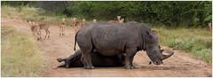 Resting Rhinos, Kruger South Africa (CvK Photography) Tags: africa autumn holiday color fall nature animals canon southafrica nationalpark wildlife rhino za mpumalanga krugerpark big5 zuidafrika krugernp whiterino